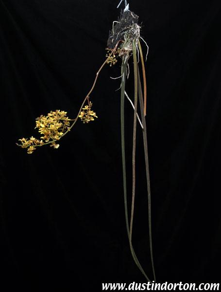 http://www.dustindorton.com/orchids2/plantpages/oncidiumascendens441/images/DSC_0029.jpg