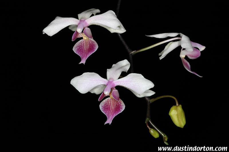 Уход за орхидеей афродита в домашних условиях 398